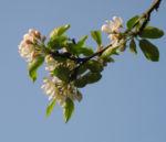 Bild:  Apfelbaum Blüte weiß Malus domestica