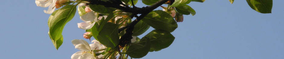 apfelbaum-bluete-weiss-malus-domestica