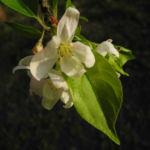 Apfelbaum Bluete weiss Malus domestica 13