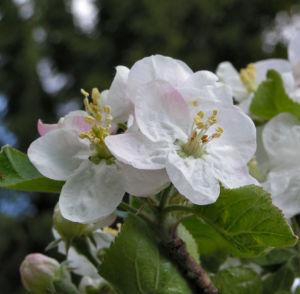 Apfelbaum Bluete weiss Malus domesticus 05
