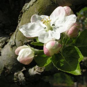 Apfelbaum Bluete weiss Malus domesticus 08