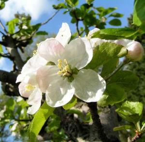 Apfelbaum Bluete weiss Malus domesticus 10