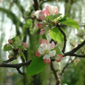 Apfelbaum Bluete Malus 03