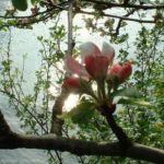 Apfelbaum Bluete Malus 04 3