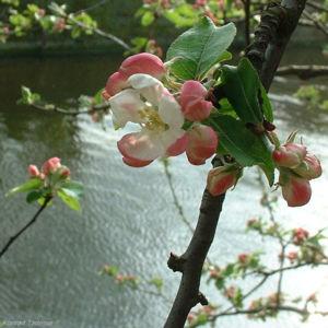 Apfelbaum Bluete Malus 05