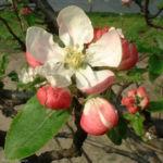 Apfelbaum Bluete Malus 07