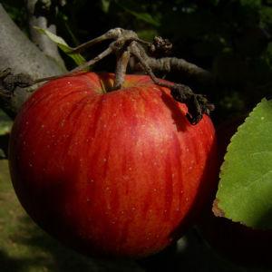 Apfelbaum Frucht rotgelb Malus domestica 02