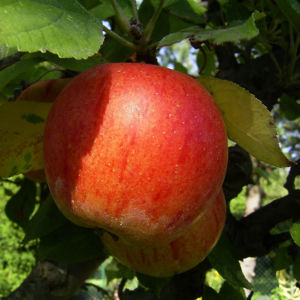 Apfelbaum Frucht rotgelb Malus domestica 03