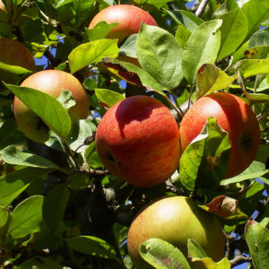 Apfelbaum Frucht rotgelb Malus domestica 05