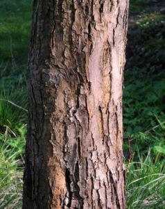 Apfelbaum Rinde braun Malus domestica 06