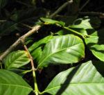 Arabica Kaffee Blatt gruen Coffea arabica 06