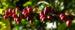 Zurück zum kompletten Bilderset Arabica-Kaffee Frucht rot grün Coffea arabica