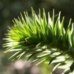 Araucarie Blatt gruen Araucaria araucana 01