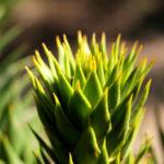Araucarie Blatt gruen Araucaria araucana 05