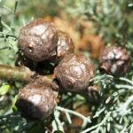 Arizona Zypresse Strauch Frucht blau gruen Cupressus glabra 06