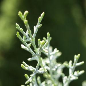 Arizona Zypresse Strauch Frucht blau gruen Cupressus glabra 09