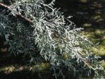 Arizona Zypresse Strauch Zweige blau gruen Cupressus glabra 01