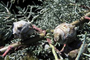 Arizona Zypresse Strauch Zweige blau gruen Cupressus glabra 06