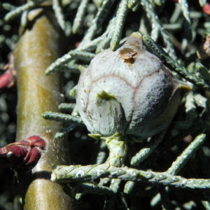 Arizona Zypresse Strauch Zweige blau gruen Cupressus glabra 11