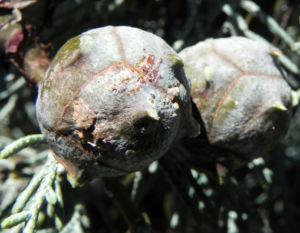 Arizona Zypresse Strauch Zweige blau gruen Cupressus glabra 13