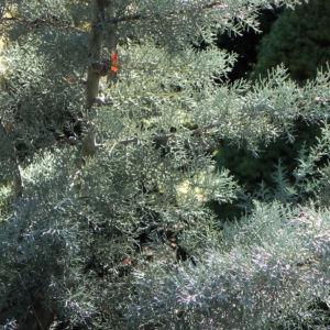 Arizona Zypresse Strauch Zweige blau gruen Cupressus glabra 24