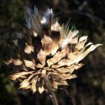 Artischocke Bluete lila Frucht braun Cynaria scolymus 01