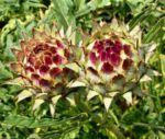 Bild:  Artischocke Blüte lila - Cynara scolymus