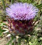 Artischocke Bluete lila Cynara scolymus 09