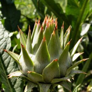 Artischocke Bluete lila Cynara scolymus 10
