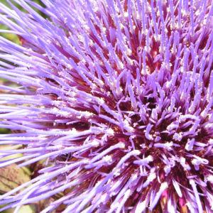 Artischocke Bluete lila Cynara scolymus 11