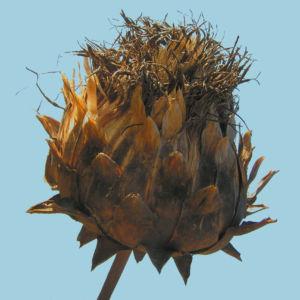 Artischocke Samen silber braun Cynara scolymus 02