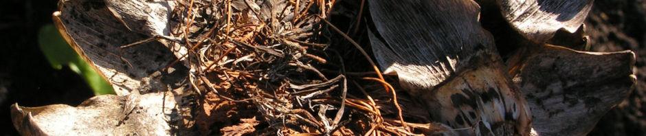 Anklicken um das ganze Bild zu sehen  Artischocke Samen silber braun Cynara scolymus