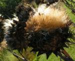 Artischocke Samen silber braun Cynara scolymus 07
