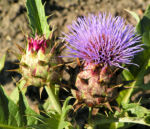 Artischoke Bluete lila Cynara scolymus 01