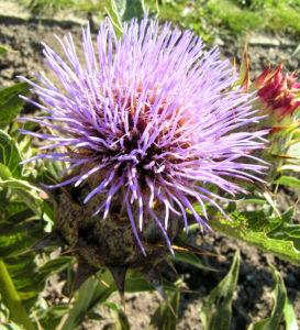 Artischoke Bluete lila Cynara scolymus 02