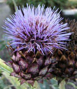 Artischoke Bluete lila Cynara scolymus 03 2