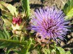 Artischoke Bluete lila Cynara scolymus 05 1