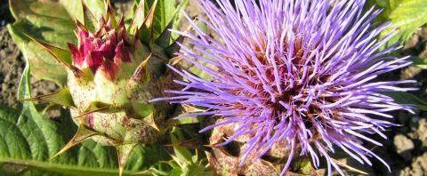 Anklicken um das ganze Bild zu sehen  Artischoke Blüte lila - Cynara scolymus