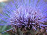 Artischoke Bluete lila Cynara scolymus 06