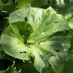 Asiatische Pestwurz Blatt gruen Petasites japonicus 04
