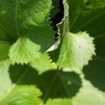 Asiatische Pestwurz Blatt gruen Petasites japonicus 05
