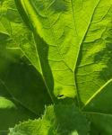 Asiatische Pestwurz Blatt gruen Petasites japonicus 07