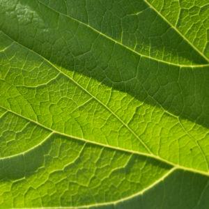 Asiatische Pestwurz Blatt gruen Petasites japonicus 08