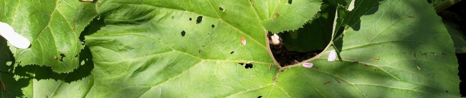 Anklicken um das ganze Bild zu sehen  Asiatische Pestwurz Blatt grün Petasites japonicus