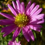 Aster gelb lila Aster novi belgii 02 2