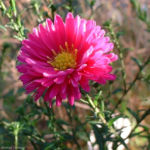 Aster lila Aster 01
