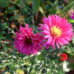 Aster lila Aster 02