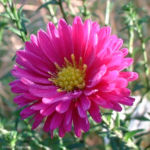 Aster lila Aster 03