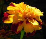 Aufrechte Studentenblume Bluete gelb rot Tagetes erecta 06