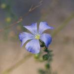 Ausdauernder Lein Stauden Lein Bluete hellblau Linum perenne 05